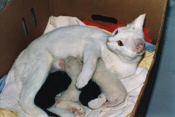 Empat ekor anak kucing sedang disusui induknya.