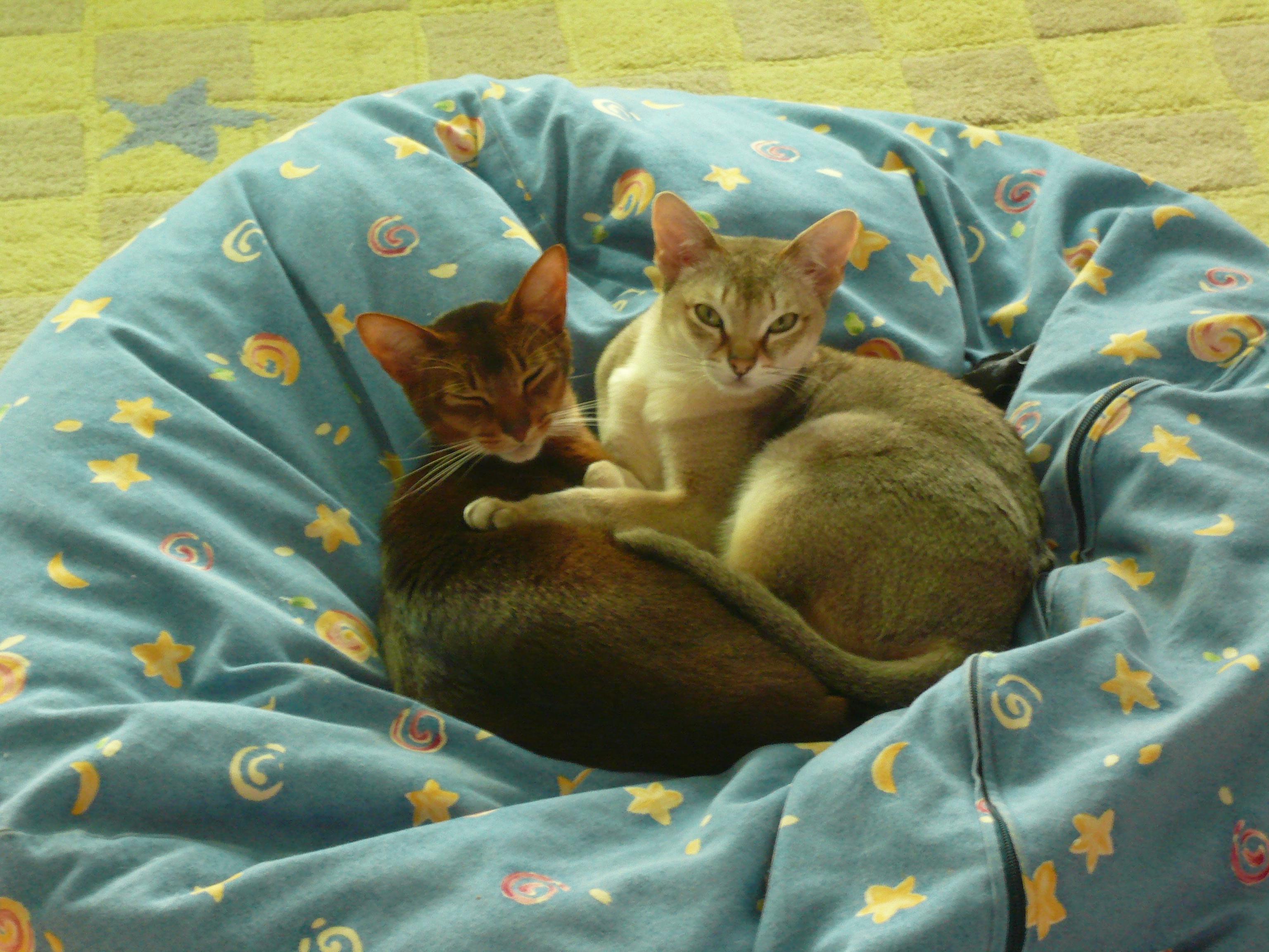 Kucing Abyssinian: Kucing cerdas, penurut dan setia