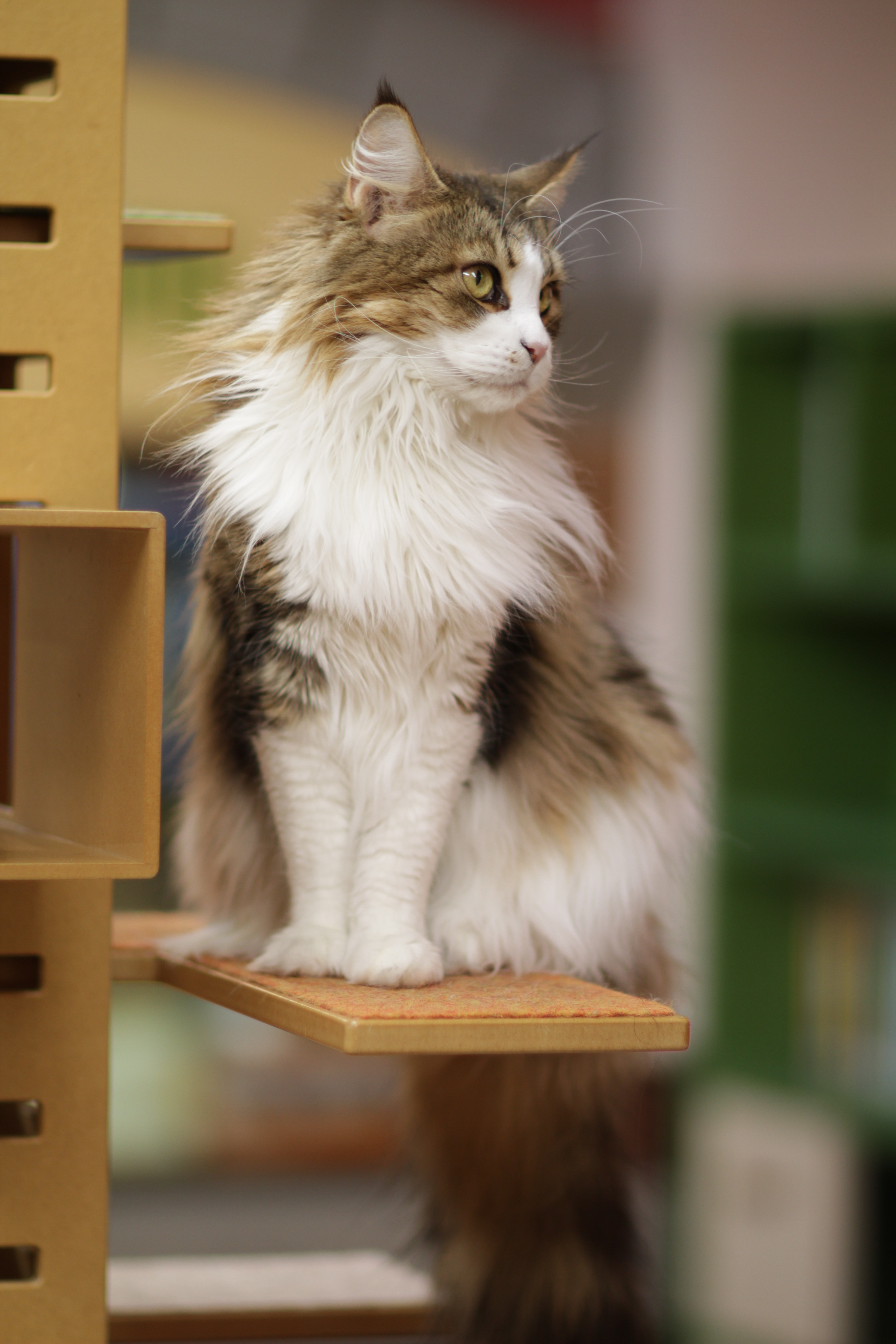 Kucing Karin Maine Coon kucing terbesar