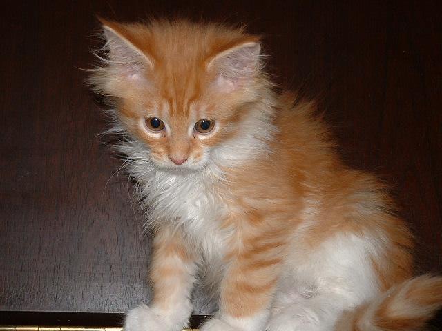 Seekor Anak kucing Maine Coon berumur 10 minggu