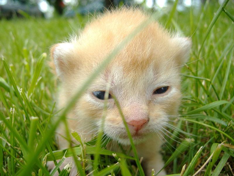 Seekor anak kucing yang baru terbuka matanya.