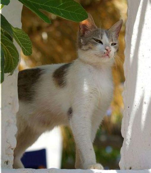 ciri-ciri-kucing-aegean-1