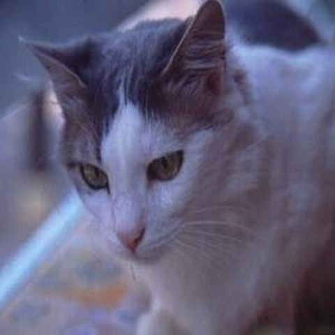 ciri-ciri-kucing-aegean-2