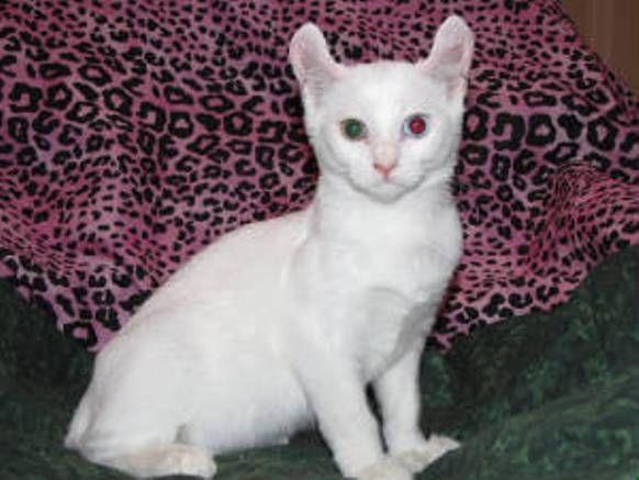 ciri-ciri-kucing-alpine-lynx-1