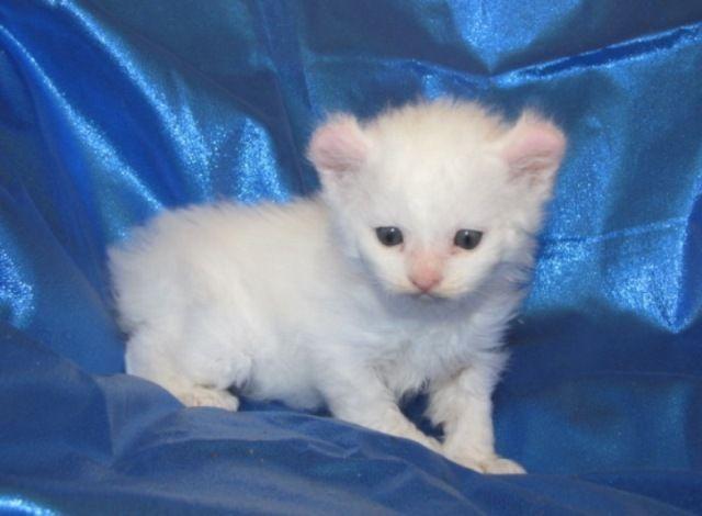 ciri-ciri-kucing-alpine-lynx-2