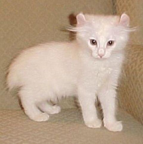 ciri-ciri-kucing-alpine-lynx-3