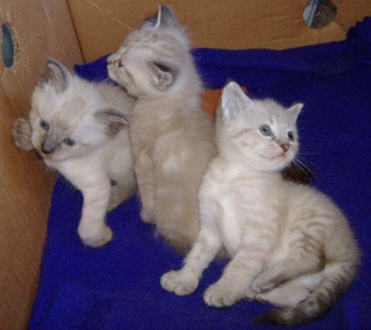 ciri-ciri-kucing-alpine-lynx-4