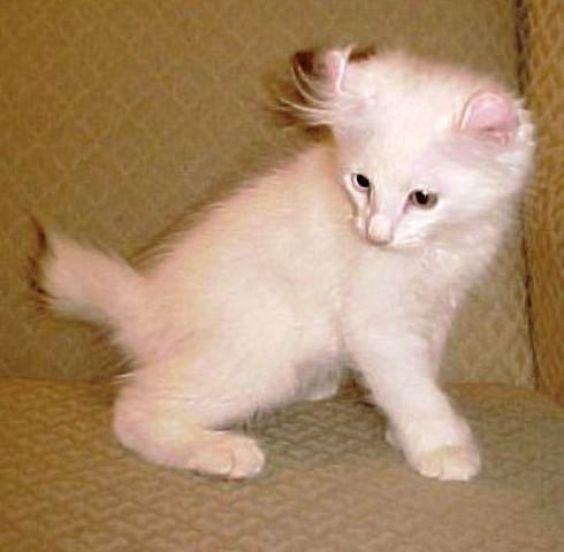 ciri-ciri-kucing-alpine-lynx-5