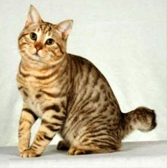 Foto-foto kucing american bobtail short tail