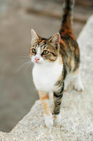 foto kucing aegean