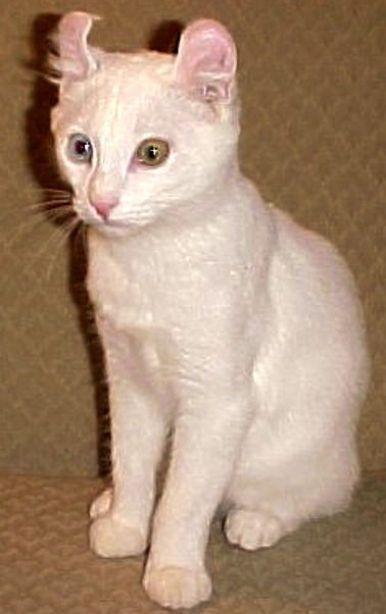 harga-kucing-alpine-lynx-1