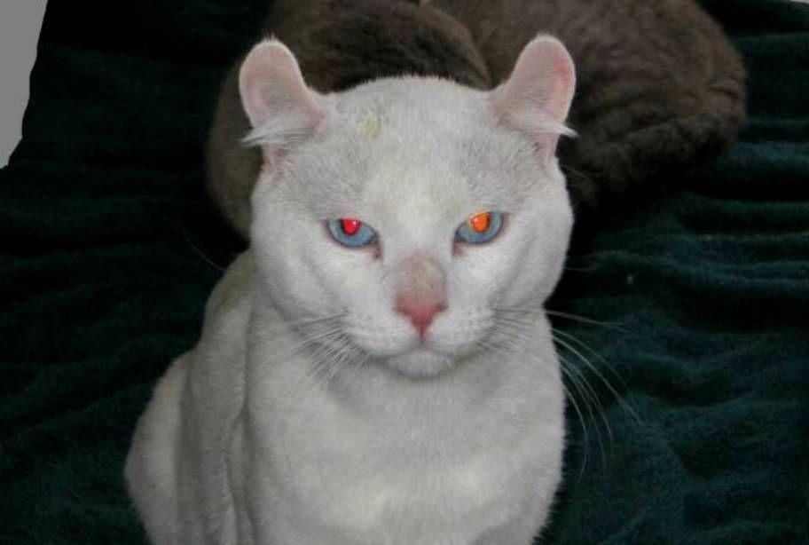 harga-kucing-alpine-lynx-2
