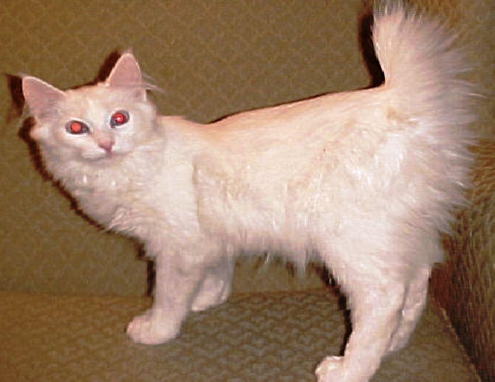 harga-kucing-alpine-lynx-3