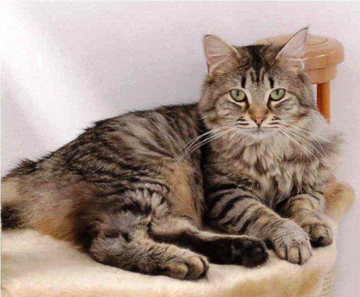harga-kucing-american-bobtail-long-hair-7