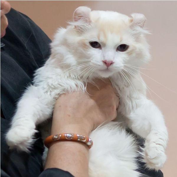 harga kucing american curl