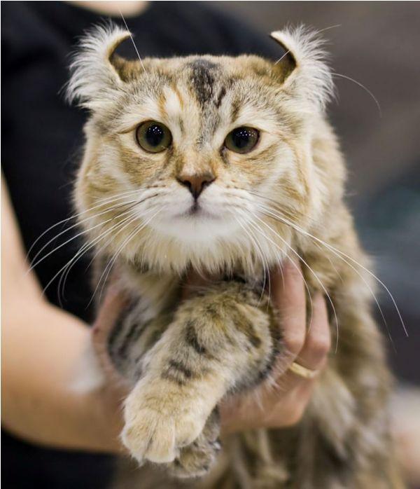 jual kucing american curl