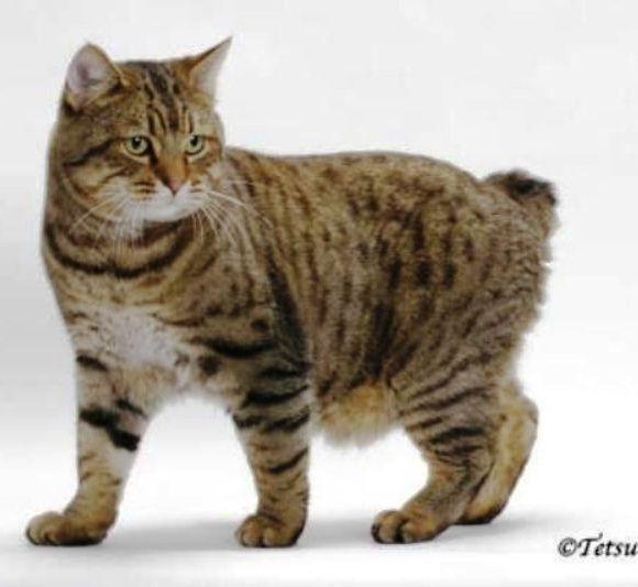 kucing-american-bobtail-1