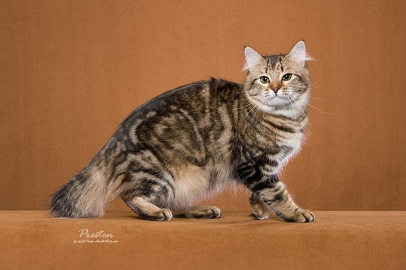 kucing-american-bobtail-11