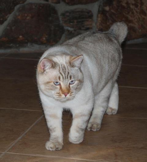kucing-american-bobtail-14