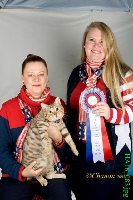 kucing-american-bobtail-15