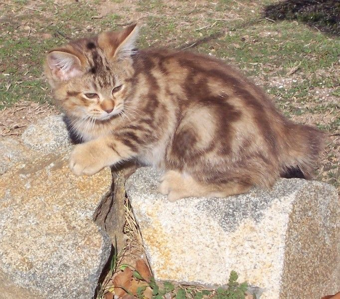 kucing-american-bobtail-18