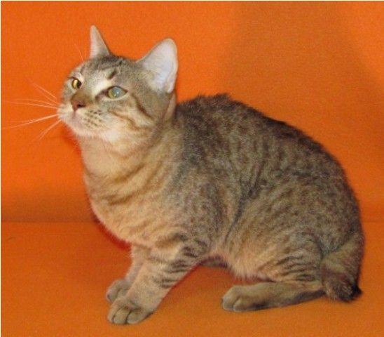 kucing-american-bobtail-19