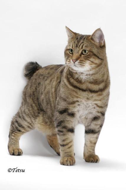 kucing-american-bobtail-2