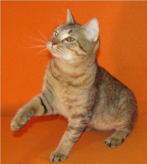 kucing-american-bobtail-20