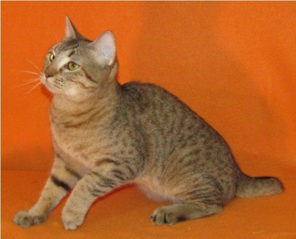 kucing-american-bobtail-21