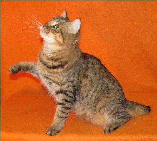 kucing-american-bobtail-23