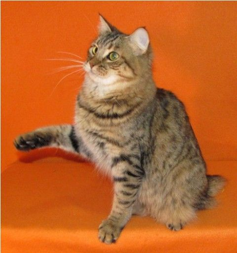 kucing-american-bobtail-24