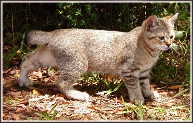 kucing-american-bobtail-26
