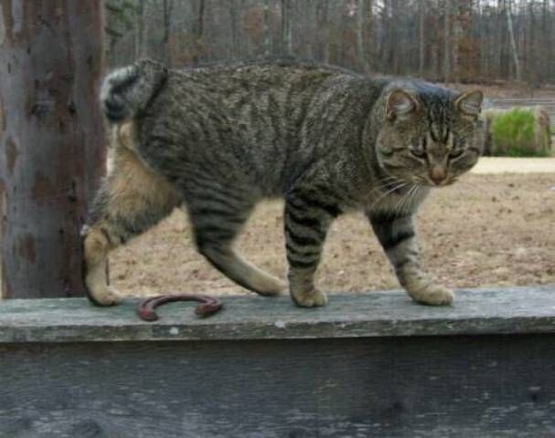 kucing-american-bobtail-27
