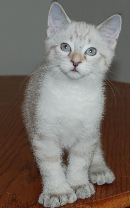 kucing-american-bobtail-29