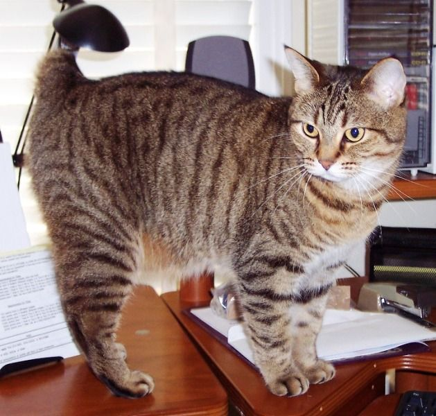 kucing-american-bobtail-3