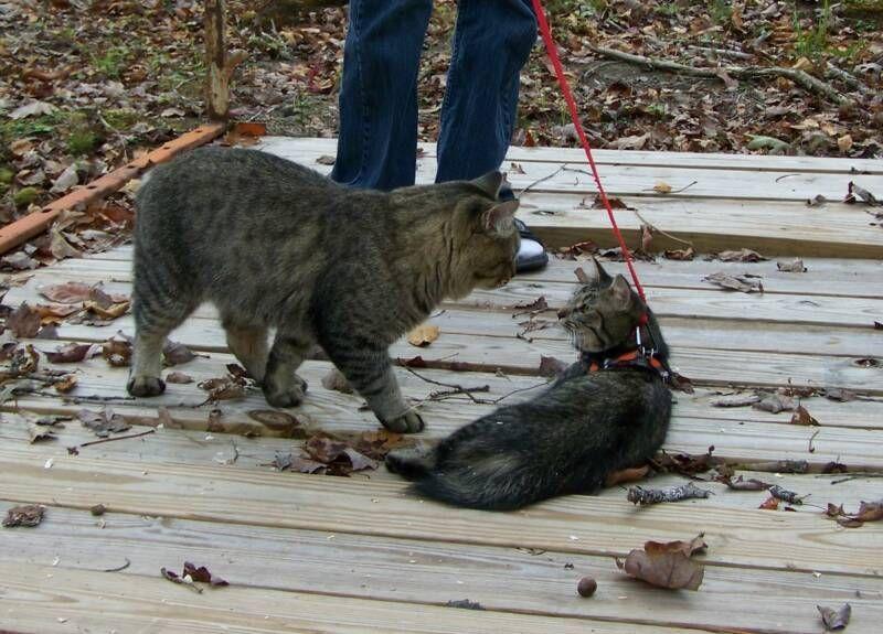 kucing-american-bobtail-30