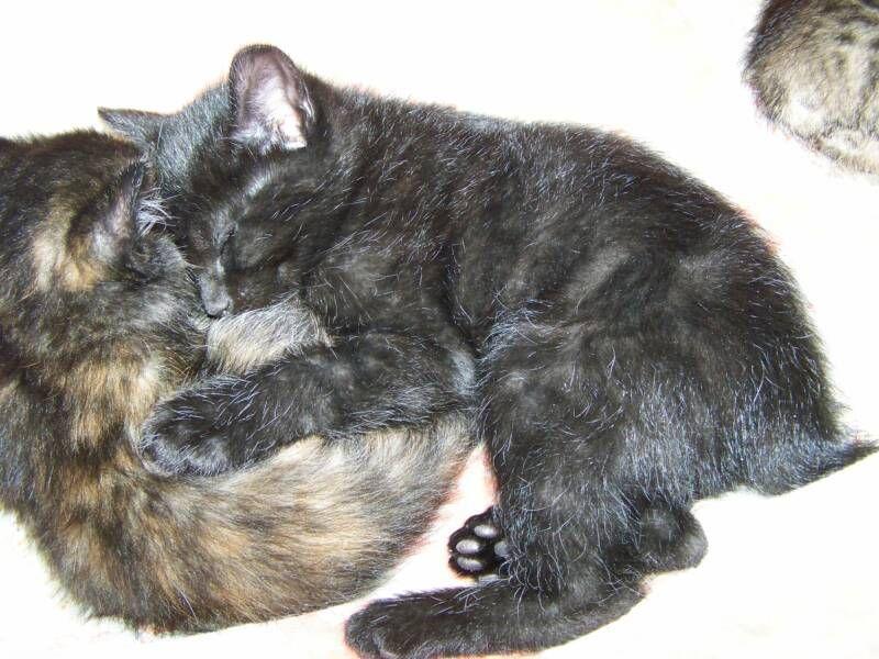 kucing-american-bobtail-31