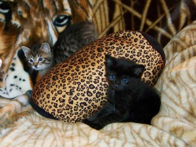 kucing-american-bobtail-32
