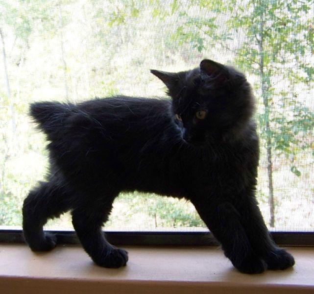 kucing-american-bobtail-35