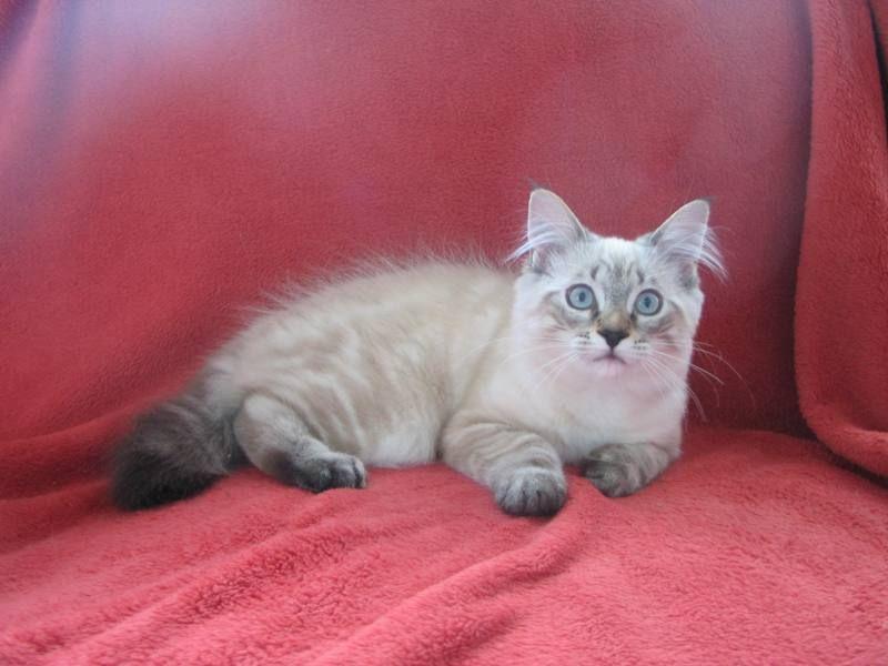 kucing-american-bobtail-36