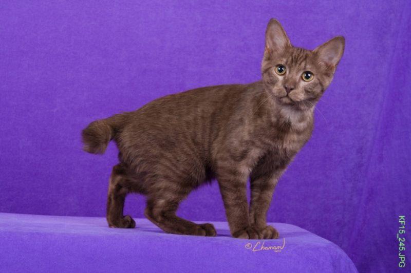 kucing-american-bobtail-37