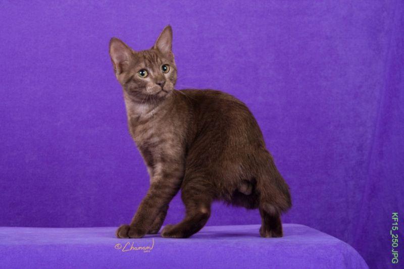 kucing-american-bobtail-38