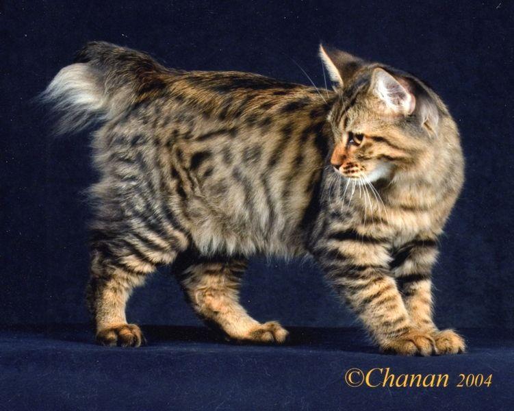 kucing-american-bobtail-39