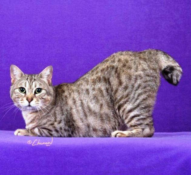 kucing-american-bobtail-4