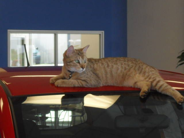 Gambar-gambar kucing American Bobtail Short Hair