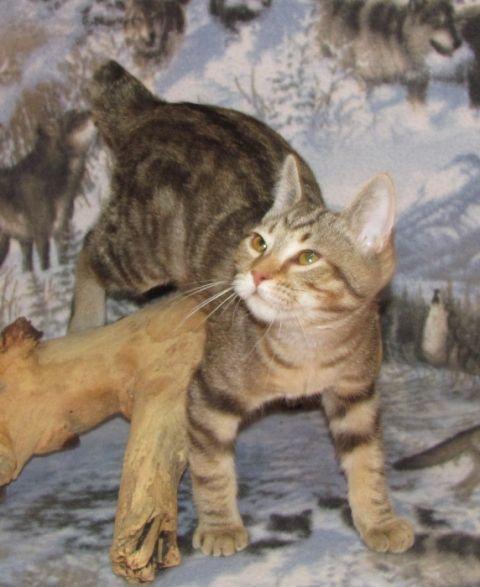 kucing-american-bobtail-44