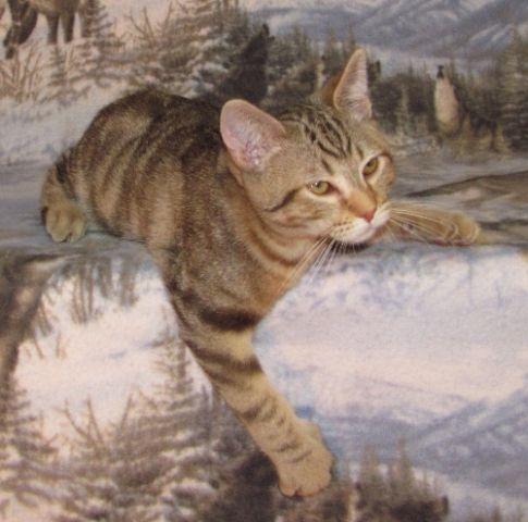 kucing-american-bobtail-45