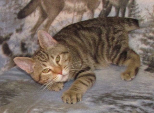kucing-american-bobtail-46