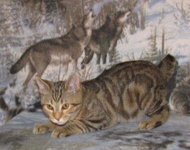 kucing-american-bobtail-47