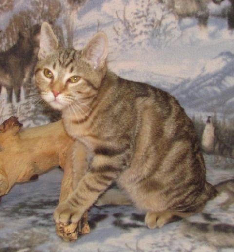 kucing-american-bobtail-48